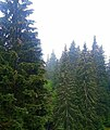 Rumanian Forest, Carpatos Mountains 17.jpg
