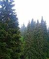 Rumanian Forest, Carpatos Mountains 17.jpg