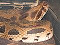 Russell's Viper (Daboia russelli).JPG