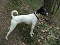 Russell terrier 8377.JPG