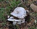 Russula brevipes.JPG