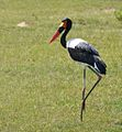 Saddle-billed Stork, Uganda (15057428628).jpg