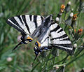 SailSwallowtail.jpg