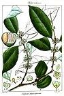 Salacia macrosperma Rungiah.jpg