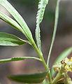 Salix exigua 6.jpg