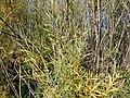 Salix melanopsis (29652559522).jpg