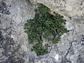 Salix reticulata 5.jpg