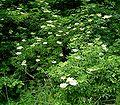 Sambucus nigra1 ies.jpg