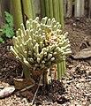 Sansevieria fischeri - inflorescence in bud (6784849672).jpg