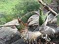 Sansevieria scimitariformis (?) shoots (4523232532).jpg