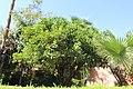 Sapindales - Citrus sinensis 1.jpg