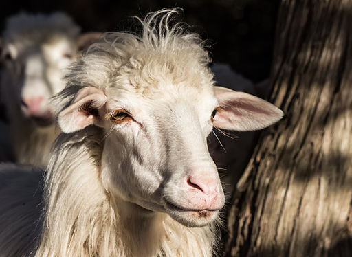 Sardinian Sheep portrait