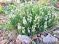 Satureja montana in bloom.jpg