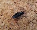 Sawfly. Arge sp. (35871303601).jpg