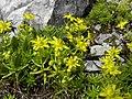 Saxifraga aizoides - Bach-Quell-Fetthennen-Steinbrech.jpg