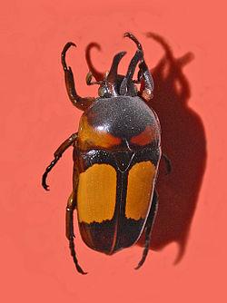 Scarabaeidae - Dicheros bicornis ornatus.jpg