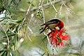 Scarlet Honeyeater feeding on flowering Callistemon.jpg