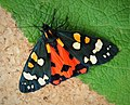 Scarlet Tiger Moth. Callimorpha dominula (48017964866).jpg