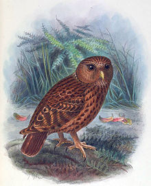 Laughing Owl - Wikipedia, the free encyclopedia