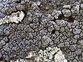 Schaereria fuscocinerea 50-Digulleville,Jardeheu 2015-05-30 01.jpg