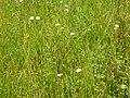 Schedonorus pratensis (3821064072).jpg