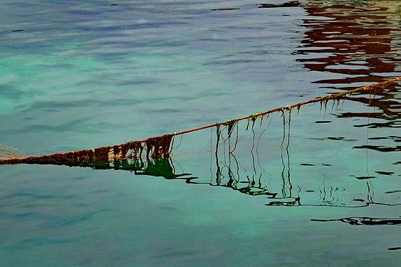 Schiffstau mit Algen im Hafen von Brensholmen , Insel Kvaloya, Norwegen.jpg