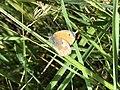 Schmetterling auf einer Wiese.jpg