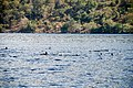 School of Dolphin in Alor - panoramio.jpg