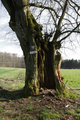 Schotten Eichelsachsen Gestuet Zwiefalten Natural monuments Tree hollow b.png