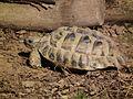 Schwaigern Griechische Landschildkröte Leintalzoo 2013.JPG