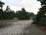 Schwanheimer Düne Sandgrube Kiefer