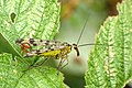 Scorpionfly (19821334912).jpg