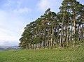 Scots pine plantation - geograph.org.uk - 306954.jpg