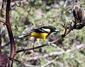 Scott's Oriole. Icterus parisorum - Flickr - gailhampshire.jpg