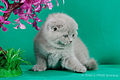 Scottish fold- straight 07.JPG