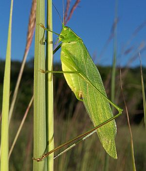 Tettigoniidae - Image: Scudderia sp