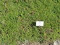 Scutellaria orientalis - Botanischer Garten, Frankfurt am Main - DSC02647.JPG