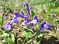 Scutellaria tuberosa 001.jpg