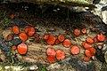 Scutellinia sp. (4501222173).jpg