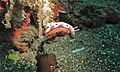 Sea Slug (Risbecia tryoni) (6065198538).jpg
