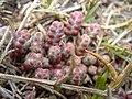 Sedum brevifolium 2.jpg