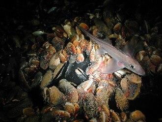 Brine pool - Chimaeridae fish and seep mussels at edge of brine pool.