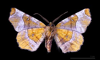 Geometer moth - Selenia tetralunaria species from Ennominae
