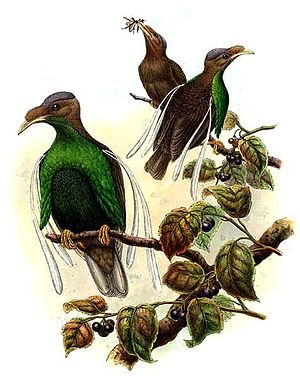 Halmahera - Semioptera wallacei by Richard Bowdler Sharpe (1847-1909)
