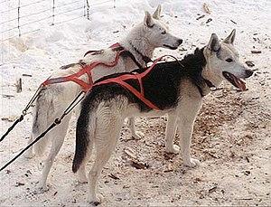 Seppala Siberian Sleddog.jpg