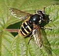 Sericomyia silentis (male) - Flickr - S. Rae.jpg