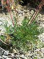 Seseli hippomarathrum sl5.jpg