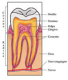 Sezione dentale umana