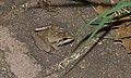 Sharp-nosed Grass Frog (Ptychadena oxyrhynchus) (5984077155).jpg