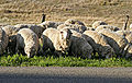 Sheep eating grass.jpg